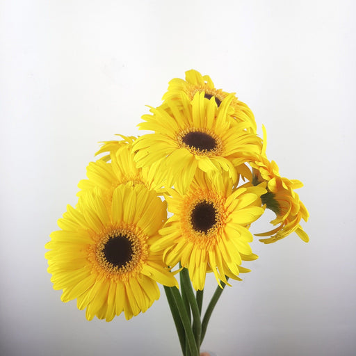 2 bundle Gerbera (Local) - Yellow