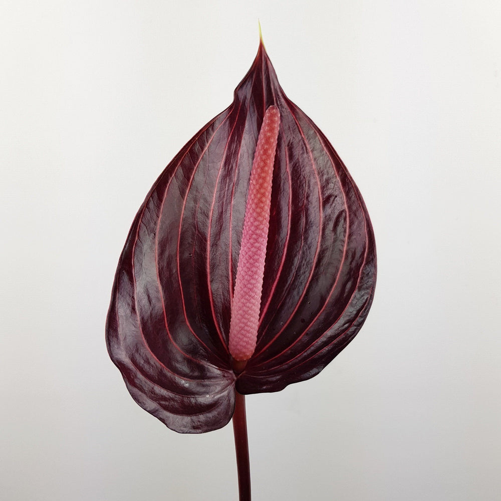 Anthurium (Local) - Maroon