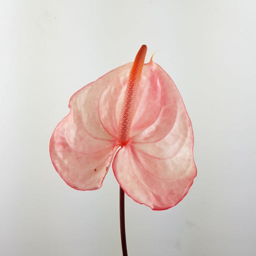 Anthurium (Local) - Light Pink