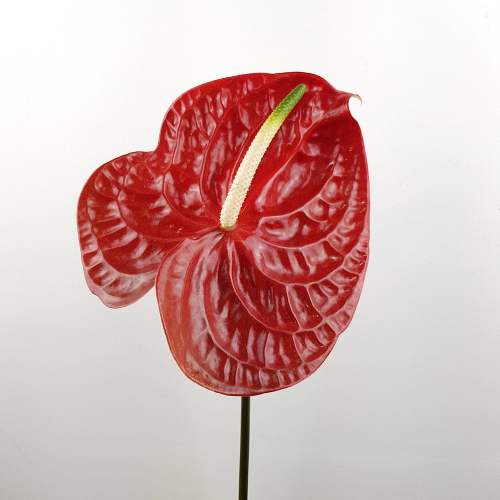Anthurium (Local) - Chili Red