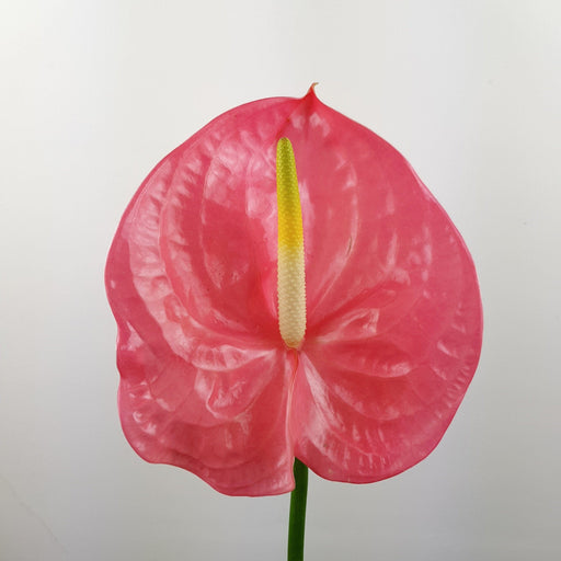 Anthurium (Local) - Pink