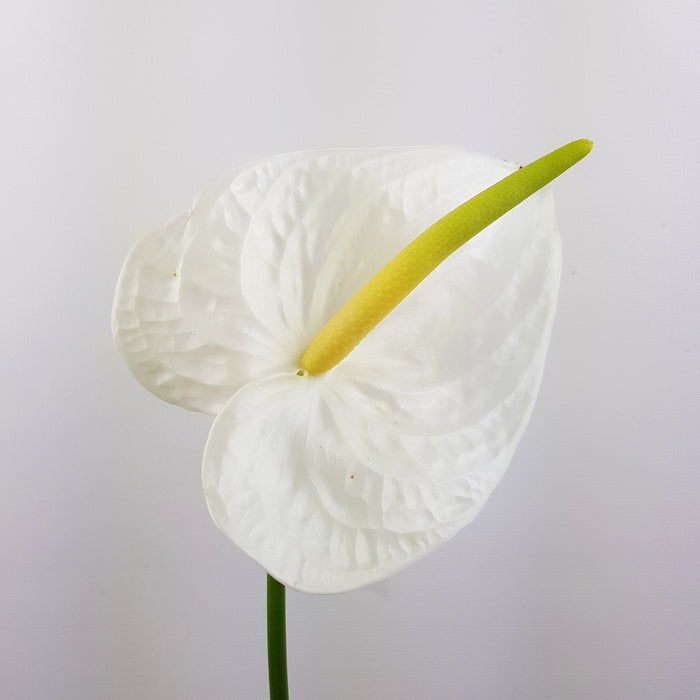 Anthurium (Local) - White