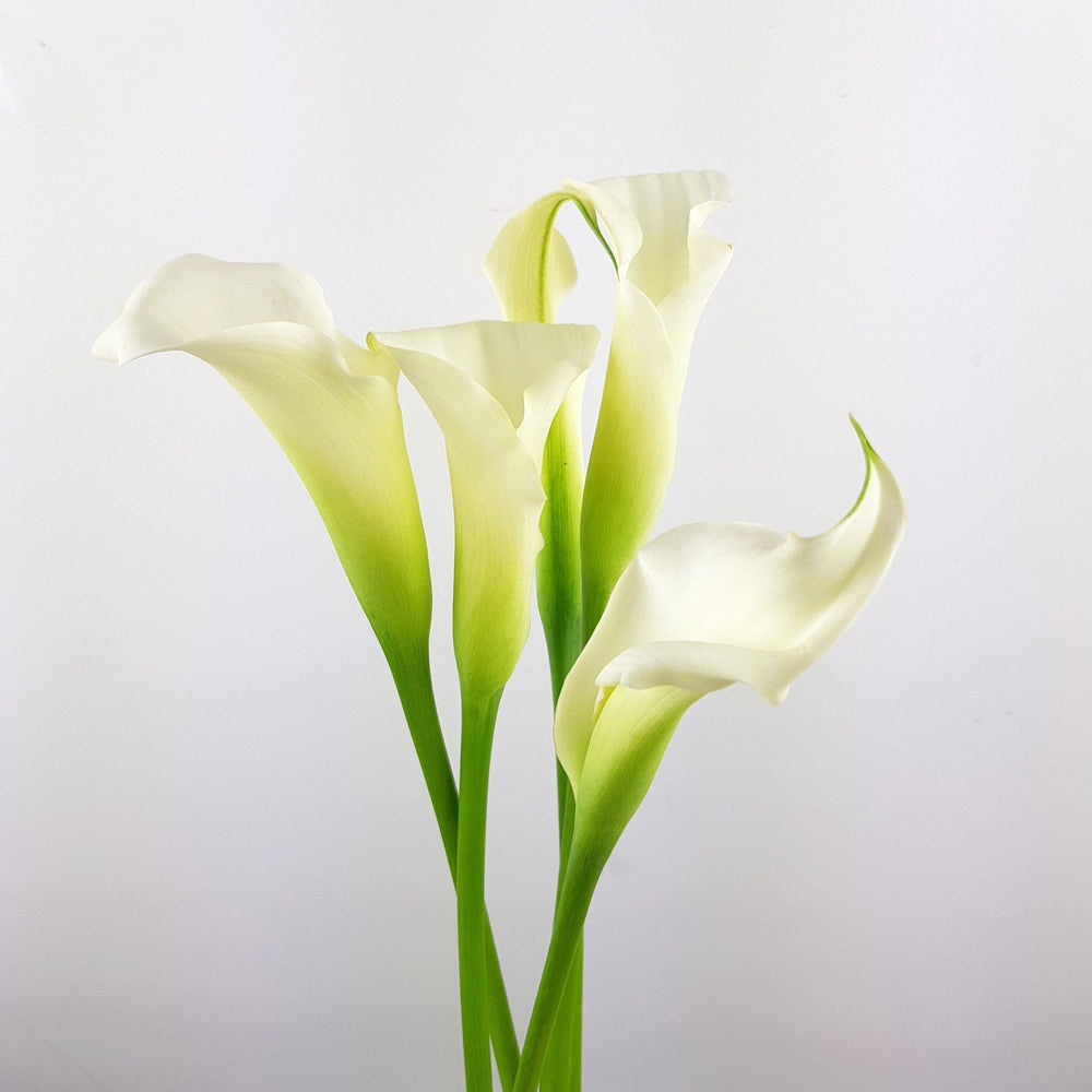 Calla Lily (Imported) - White