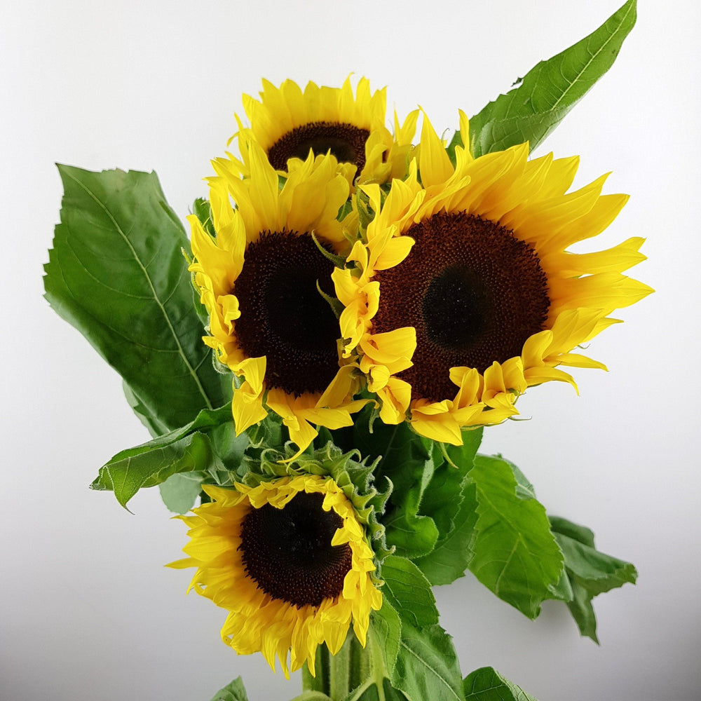 2 Bundle Sun Flower (Local) - Yellow