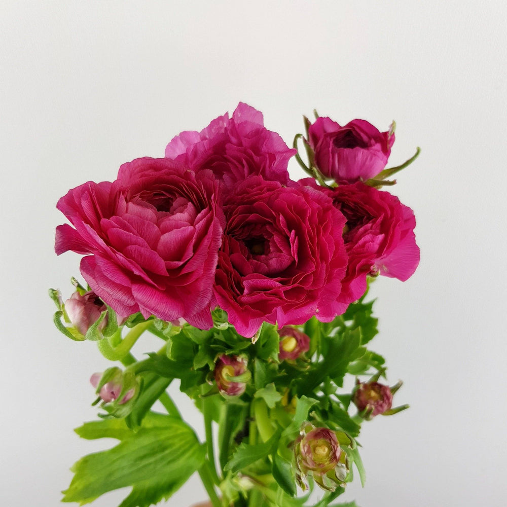 Ranunculus (Imported) - Shocking Pink