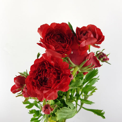 Ranunculus (Imported) - Red