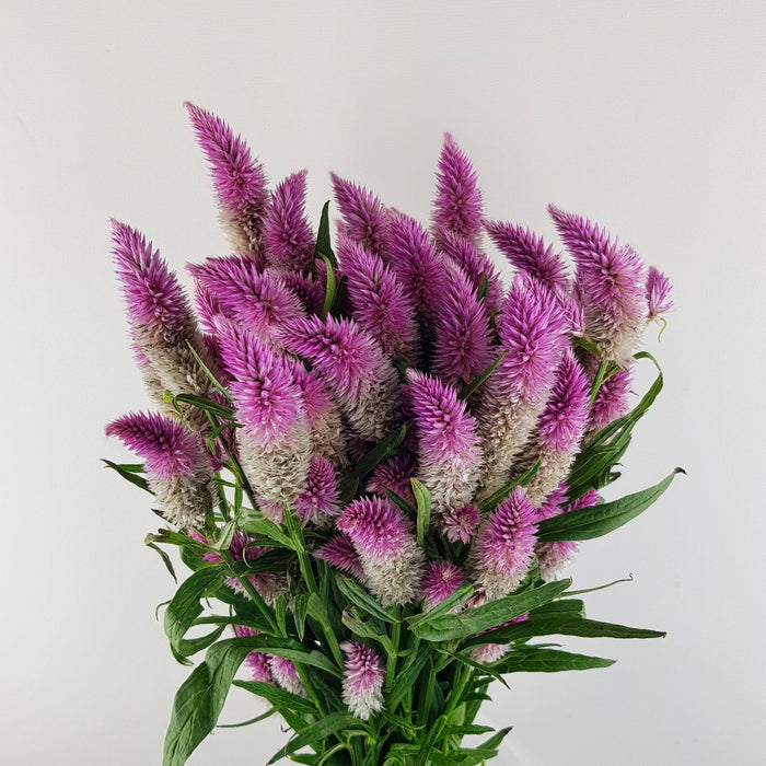 Celosia (Imported) - Pink
