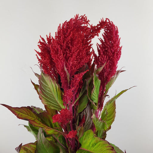 Celosia (Imported) - Red