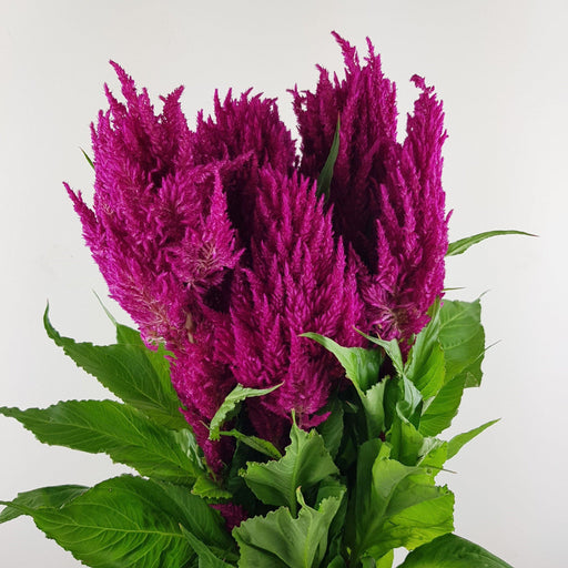 Celosia ( Imported) - Shocking Pink