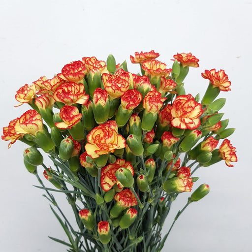 Spray Carnation (Imported) - 2 Tone Yellow