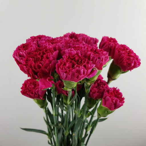 Carnation (Imported) - Cherry Red