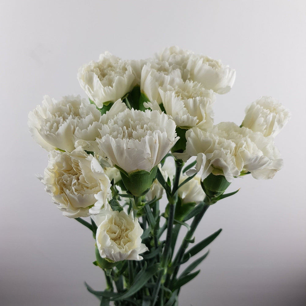 Carnation (Imported) - White