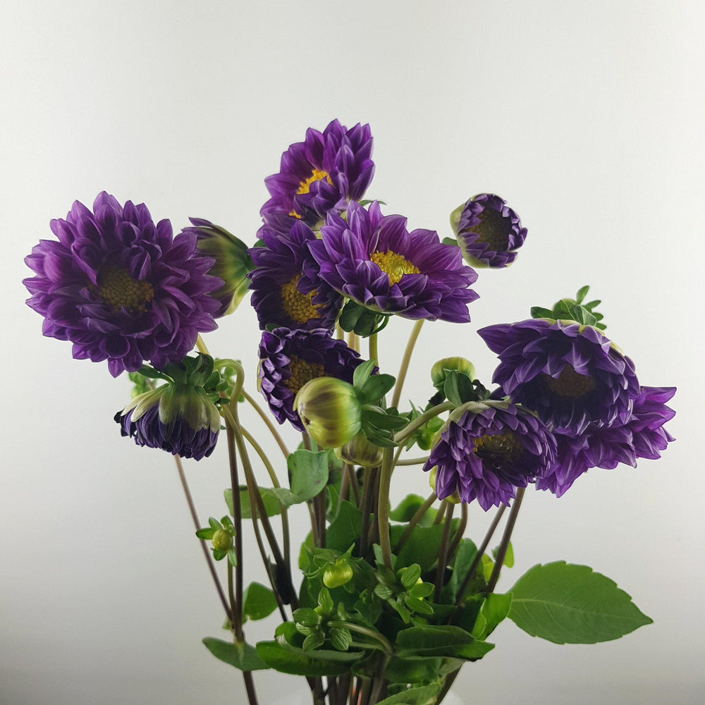 Dahlia (Imported) - Purple