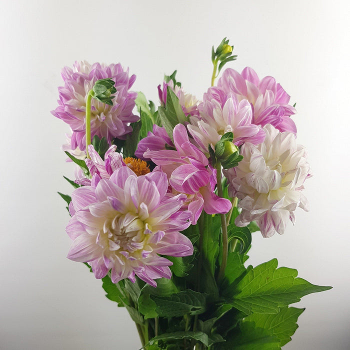 Dahlia (Imported) - Light Pink