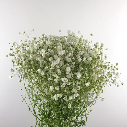 Baby Breath (Imported) -White