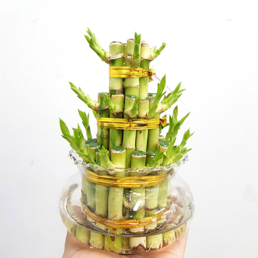 Tower Lucky Bamboo