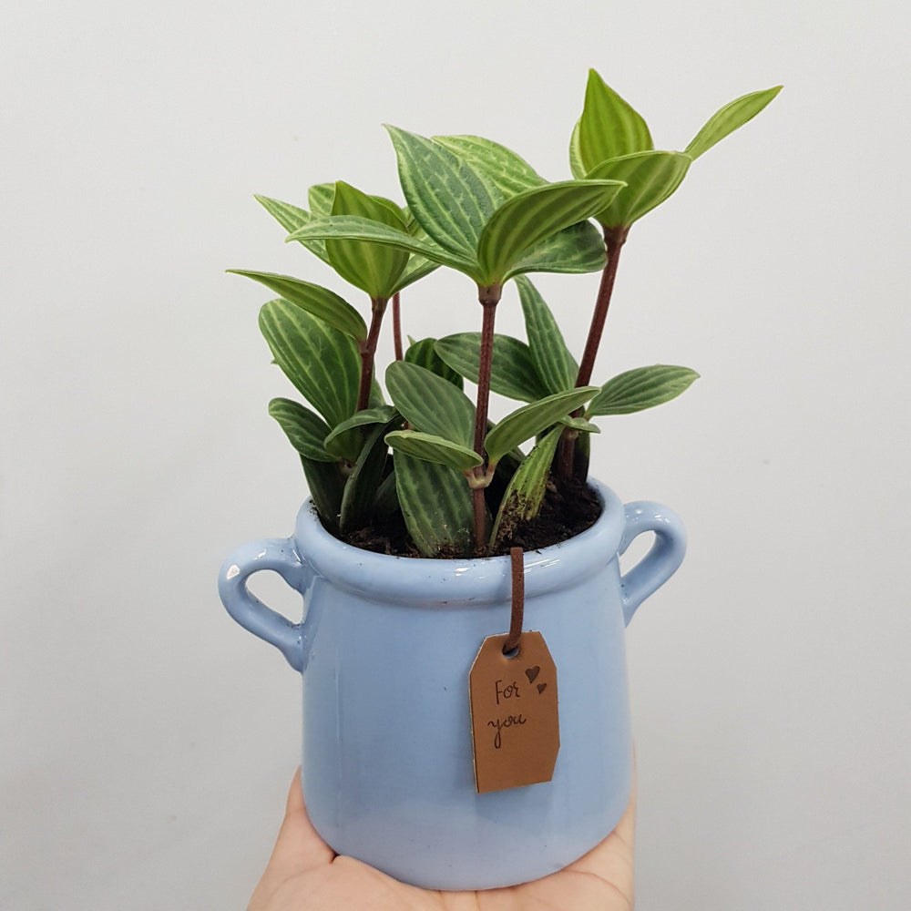 Pot Peperomia Puteolata Arrangement