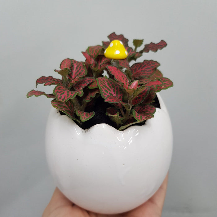 Pot Peperomia Red Arrangement