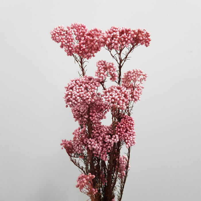 Rice Flower - Light Pink
