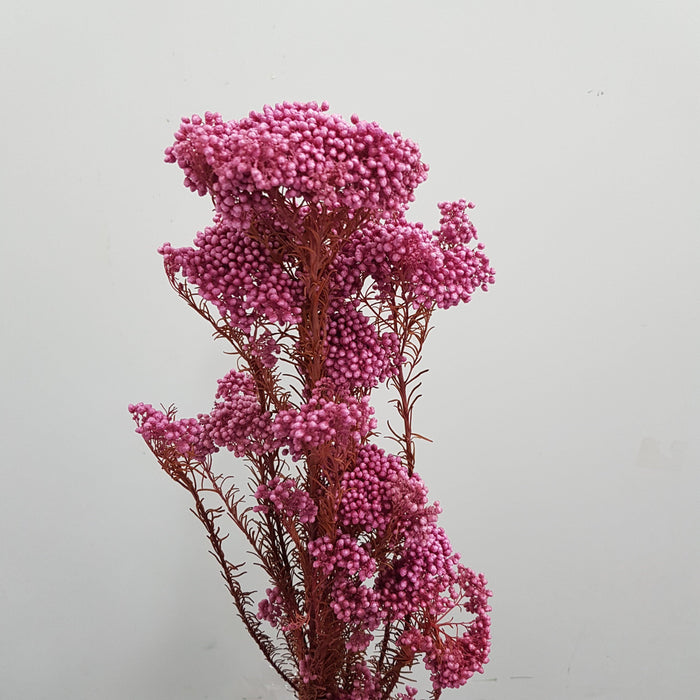 Rice Flower - Bright Pink