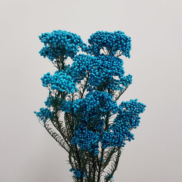 Rice Flower - Blue