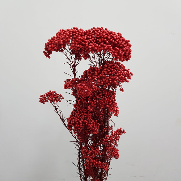 Rice Flower - Red