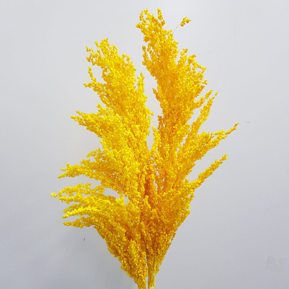Sorghum - Yellow