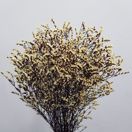 Limonium - Light Yellow