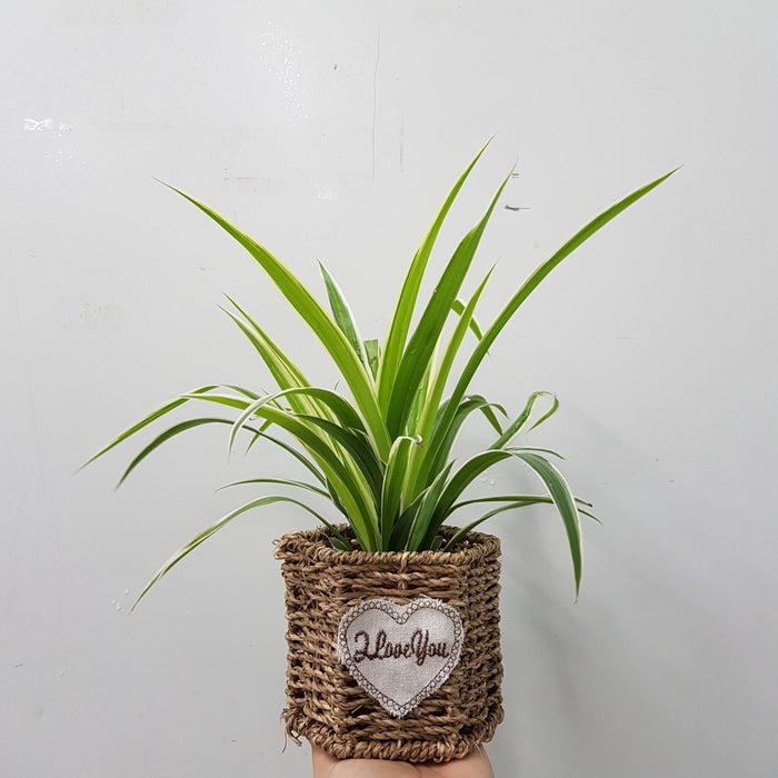 Chlorophytum Basket Arrangement