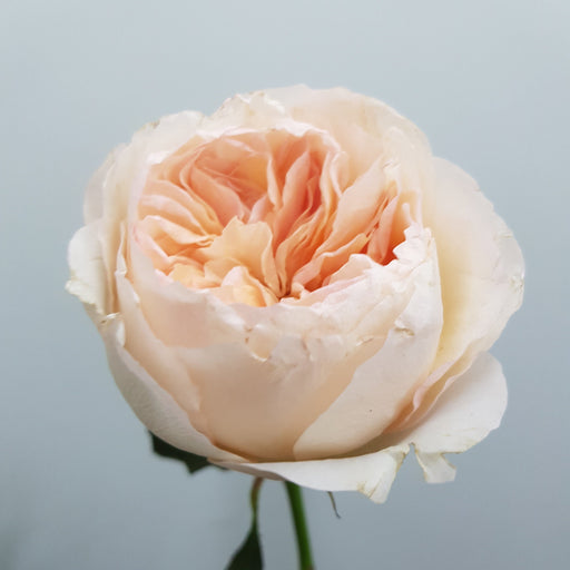 David Austin Rose - Juliet Single Stalk