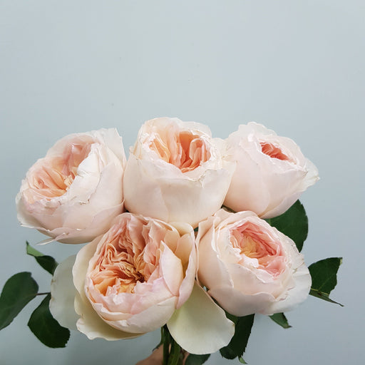 David Austin Rose -  Juliet 5 Stalks
