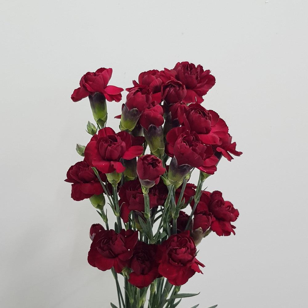 Spray Carnation (5 Stems) - Red