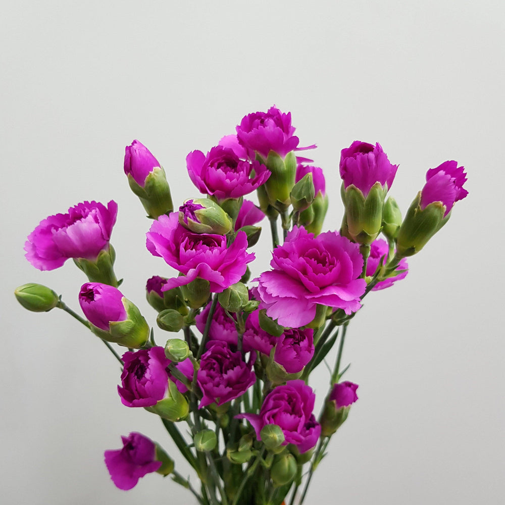 Spray Carnation (5 stem) - Purple