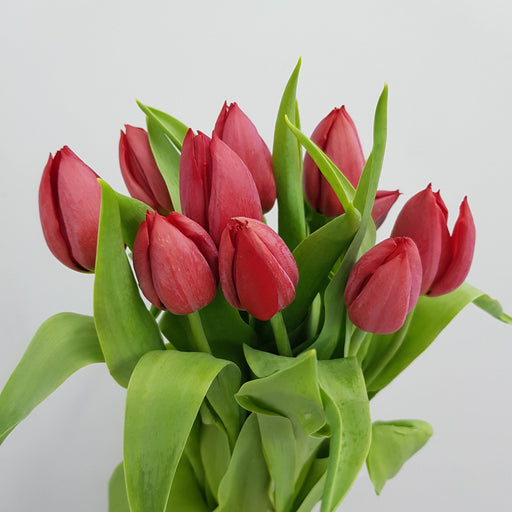 Tulip (Imported) - Red