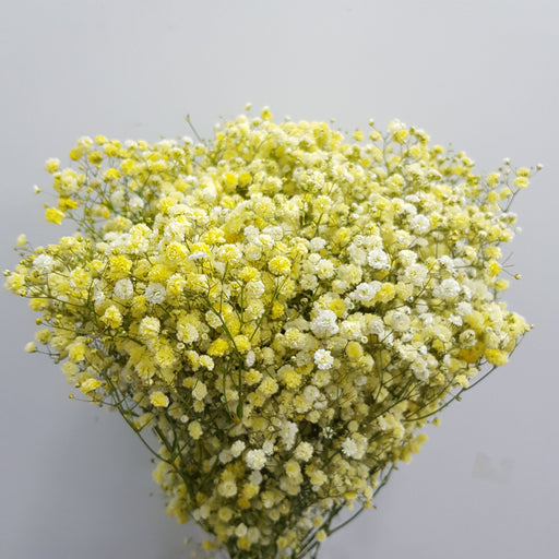 Baby Breath (Imported) - Yellow