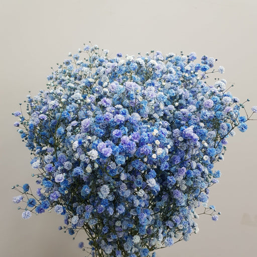 Baby Breath (Imported) - Blue