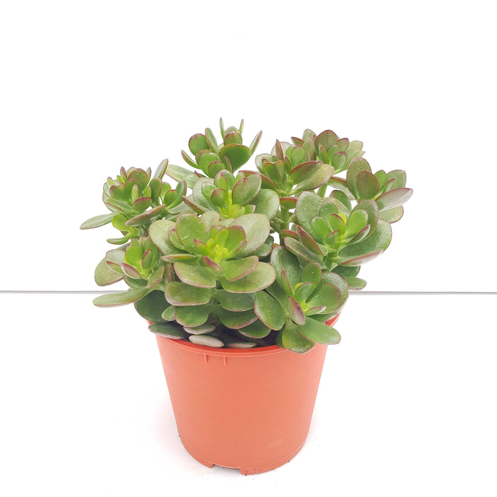 Pot Carssula P150