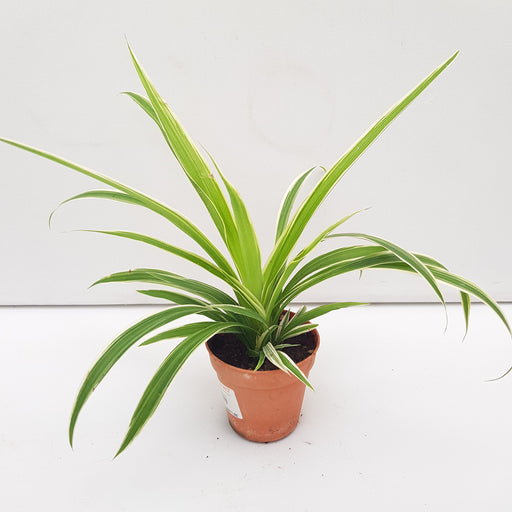 Pot Chlorophytum P85 (Local) - Green