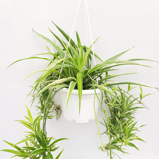 Pot Bp Chlorophytum (Local) - Green