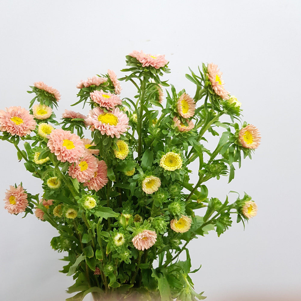 Aster  (Imported) - Peach