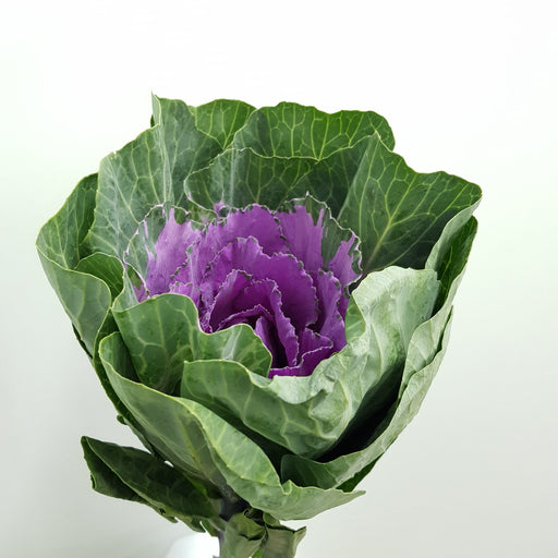 Brassica (Imported) - Purple