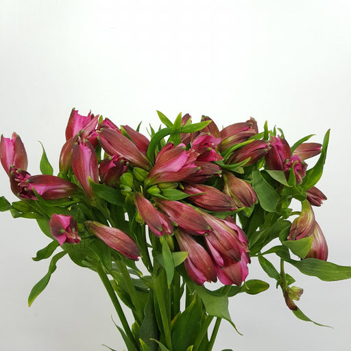 Alstroemeria (Imported) - Pink