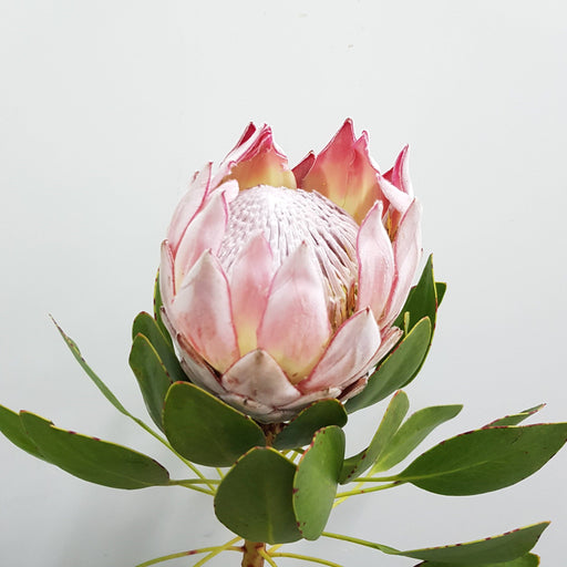 Protea Cynariodes Pink (CT) (Imported)