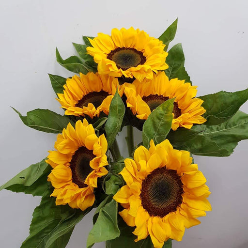 Helianthus Sun Flower (Imported) - Orange