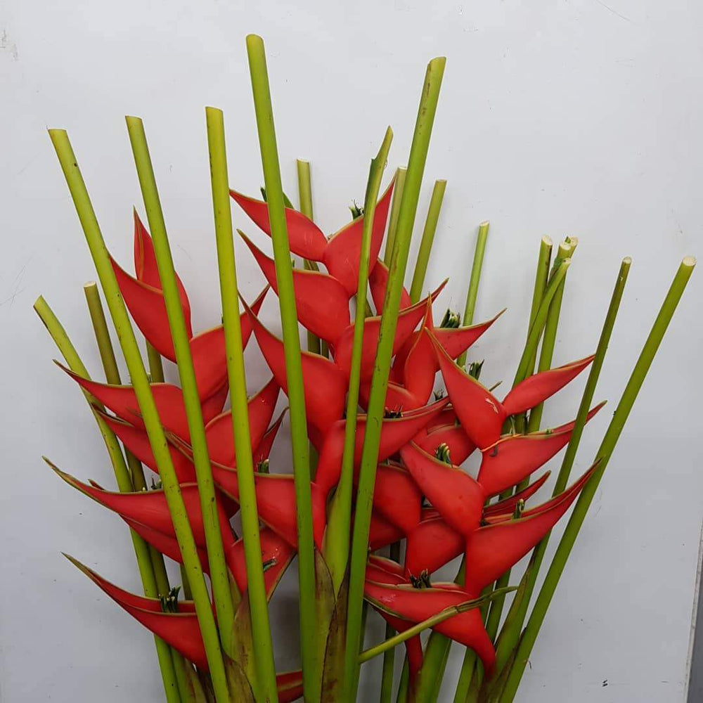 Crab Crawl 5 Stems (Local) - Red