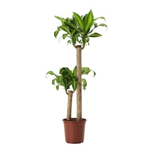 Pot Iron Plant 3ft (Local) - 2 Tone Yellow Green