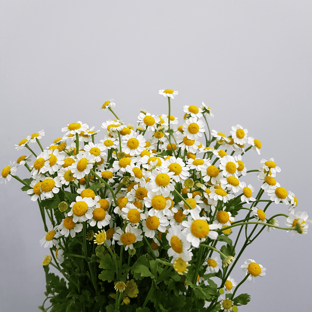 Chamomile (Imported) - White Yellow Greenhead