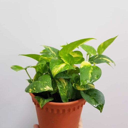 2 Pot Scindapsus (Money Plant)