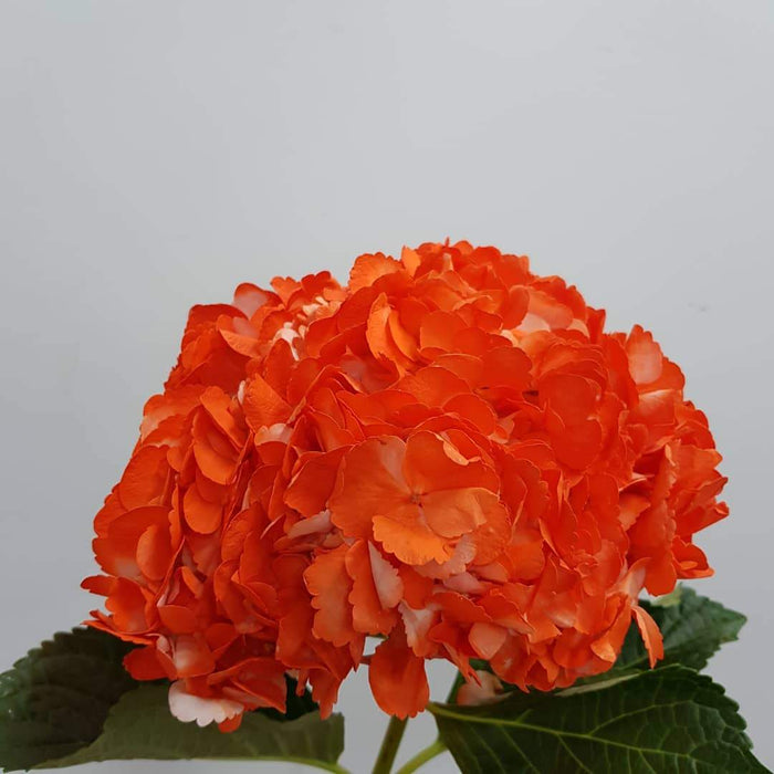 Hydrangea (Imported) - Orange