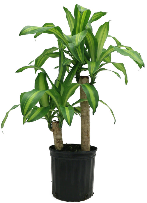 Pot Dracaena Fragrance - 3-4 Feet